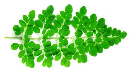 Moringa Benefits Medicinal Usage Complete Ayurveda Details