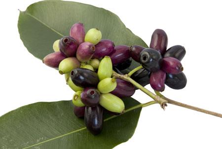 Jambolan plum isolate