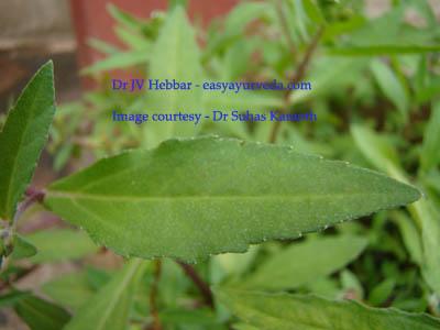 Bhringaraj - Eclipta alba - leaf
