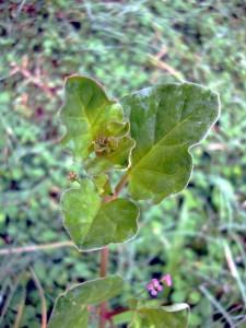 Boearhavia diffusa leaf