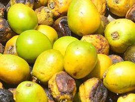 Gmelina arborea fruits