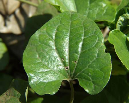long pepper leaf