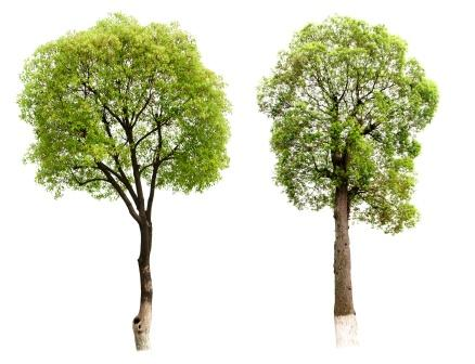 Cinnamomum camphora tree