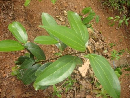 small cinnamon plant