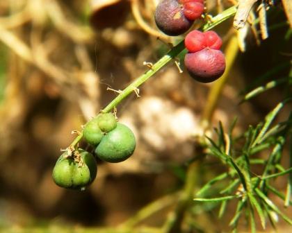 ripe and unripe fruits