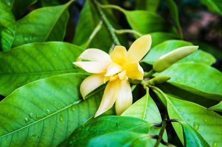 Champak flower