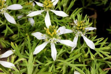 Kalonji plant