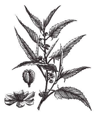 Chanchu - Jute variety