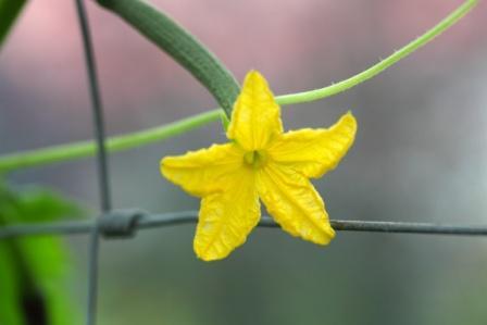 Cucucmber flower (Trapusha)