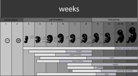 fetus development stages