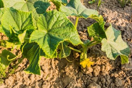 Kheera Cucumber plant