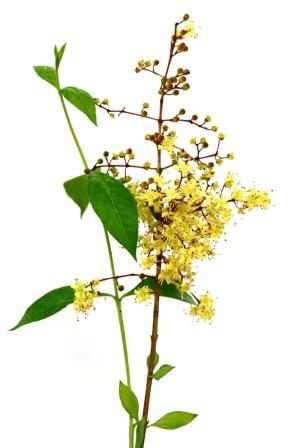 Lawsonia inermis with flower and leaves