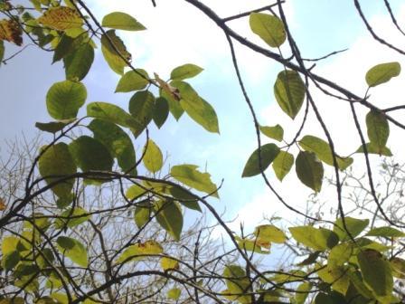 burflower tree
