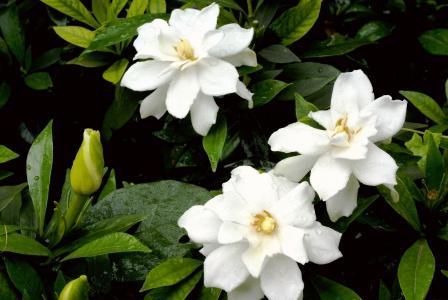 Gardenia gummifera