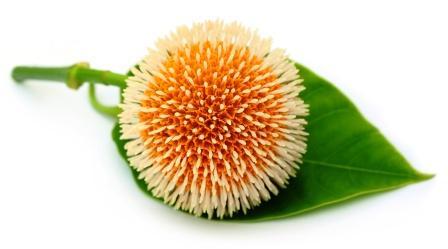 Kadamba - Neolamarckia cadamba flower with leaves