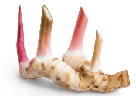 Rasna pluchea lanceolata vanda roxburghii alpinia for Galangal living