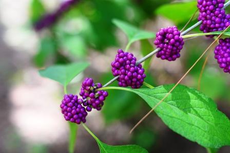 Priyangu Callicarpa Macrophylla Uses Research Remedies